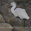 "Snowy Egret""  <br /> taken: 10-4-11"
