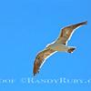 Flying Gull.~<br /> Taken: 7/16/13