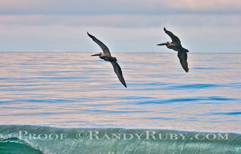Dueling Pelicans~<br /> Taken: 3-27-11