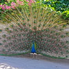 Peacock Beauty.~.~ Palos Verdes.