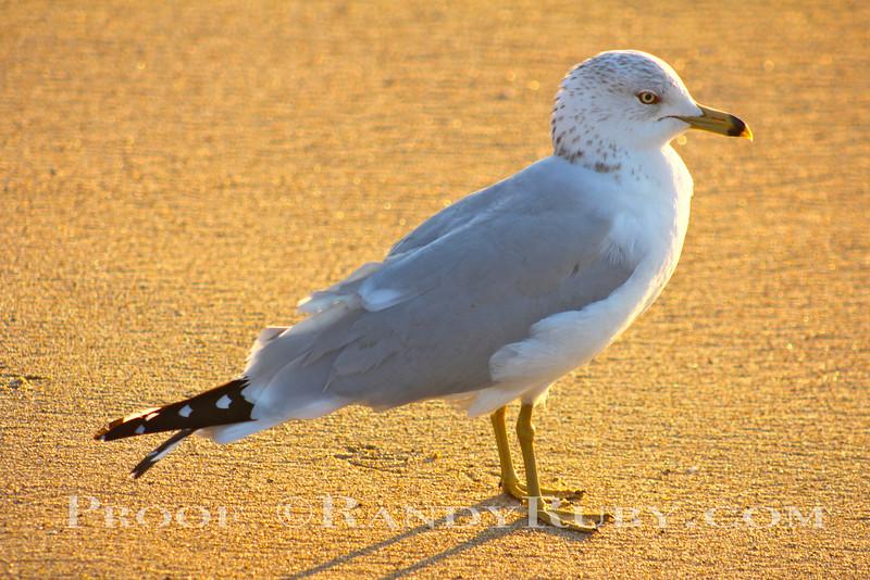 Golden Gull~<br /> 2-17-12