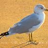 Golden Gull~<br /> 2-17-12