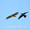 Red Tail & Crow   Mad~<br /> Taken: 3-22-13