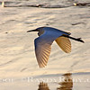 Snowy Egret~