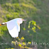 Flying Egret~