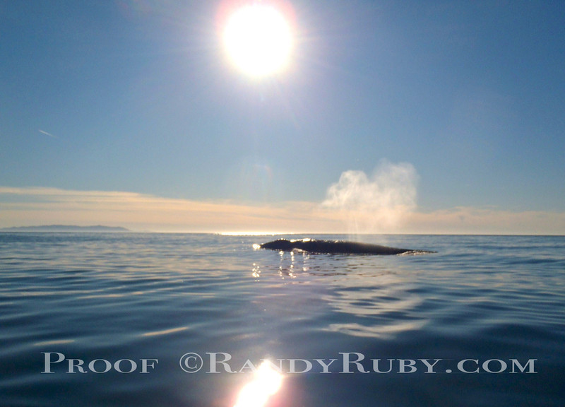 Terranea Whale~<br /> **Notice shape of Plume""