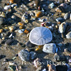 The Story Of the Sand Dollar.  Look it up~<br /> Taken: 1-18-2007