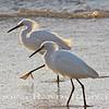 Twin Egrets~<br /> Taken: 5-12-12