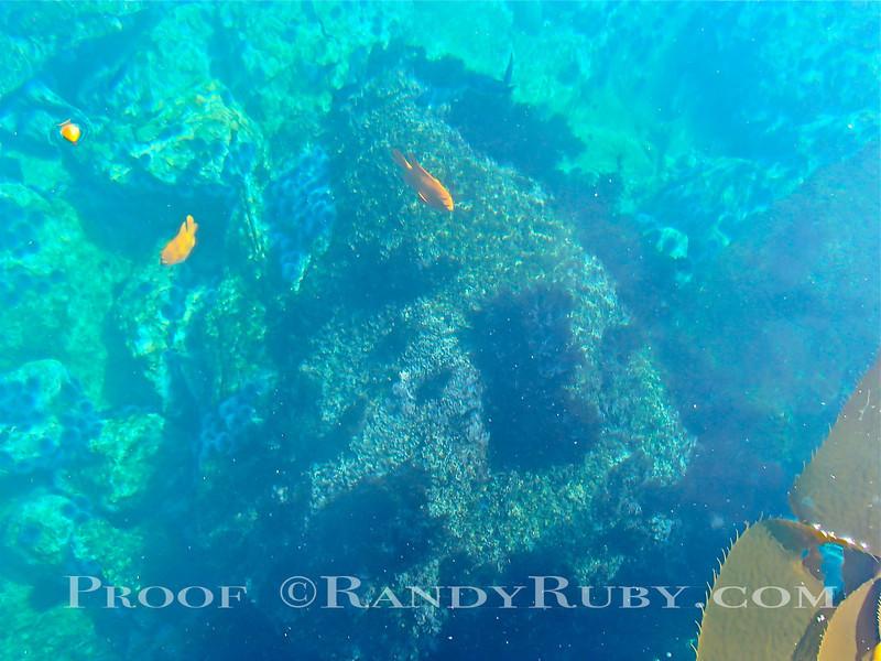Garibaldi Swimming.~<br /> Taken: 10/15/13