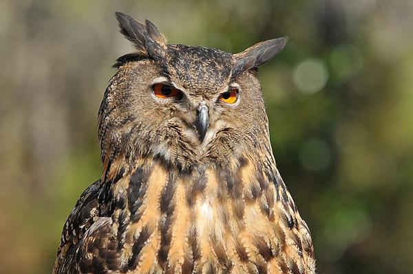 _DSC0861_eagle_owl