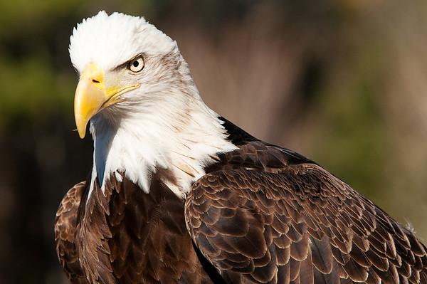 _DSC0231_eagle