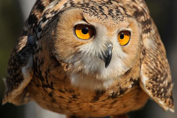 _DSC0604_Savignys_Eagle_Owl