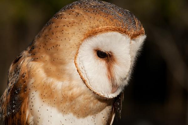 _DSC9942_barn_owl