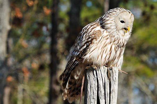 _DSC0684_ural_owl