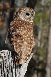 _DSC0738_barred_owl