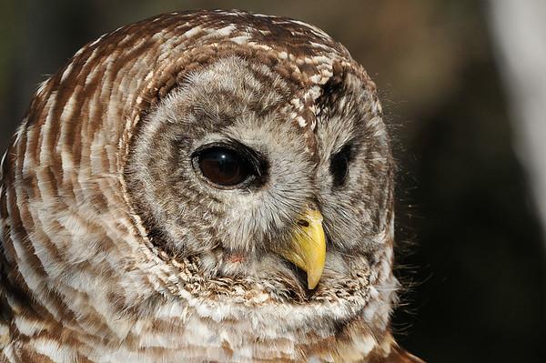 _DSC0774_barred_owl