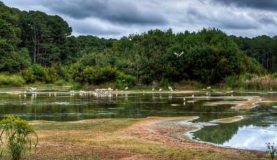 ibis-birds-pond