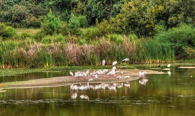 ibis-birds
