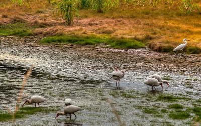 ibis-birds-2