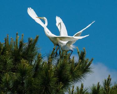Great egrets, Wadmalaw Island