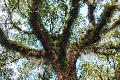 Oak at Roxbury Plantation, Edisto Island