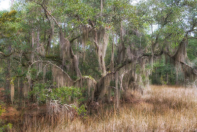 Oak and marsh grass. Roxbury Park, Edisto Island