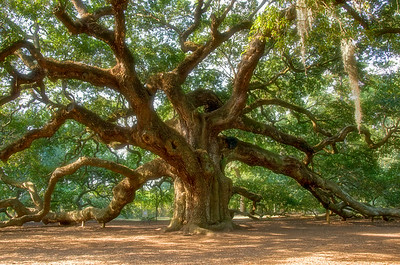 Angel Oak on Johns Island