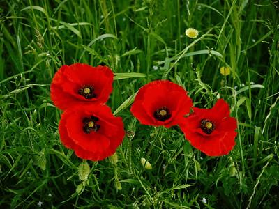 4 Poppies