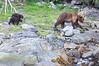 Brown_Bears_Alaska_2014_0005