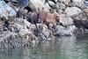 Brown_Bears_Alaska_2014_0009