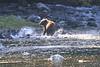 Brown_Bears_Alaska_2014_0017