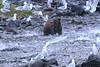 Brown_Bears_Alaska_2014_0031