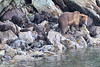 Brown_Bears_Alaska_2014_0007