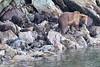 Brown_Bears_Alaska_2014_0007