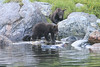 Brown_Bears_Alaska_2014_0175