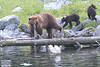Brown_Bears_Alaska_2014_0078