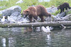 Brown_Bears_Alaska_2014_0076