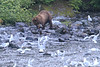 Brown_Bears_Alaska_2014_0039