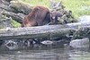 Brown_Bears_Alaska_2014_0063