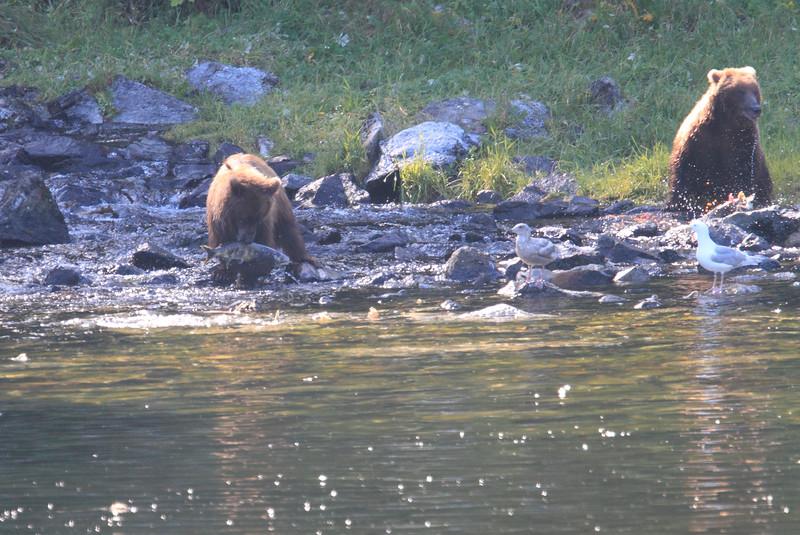 Brown_Bears_Alaska_2014_0013