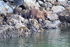 Brown_Bears_Alaska_2014_0009