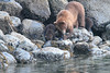 Brown_Bears_Alaska_2014_0190