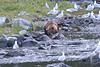 Brown_Bears_Alaska_2014_0027