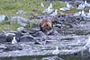Brown_Bears_Alaska_2014_0027