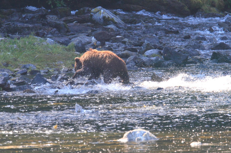 Brown_Bears_Alaska_2014_0018