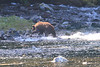 Brown_Bears_Alaska_2014_0018
