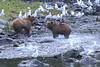 Brown_Bears_Alaska_2014_0022