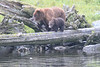 Brown_Bears_Alaska_2014_0070
