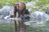 Brown_Bears_Alaska_2014_0177