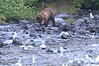 Brown_Bears_Alaska_2014_0038